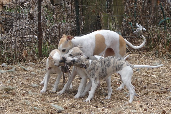 Four whippets vs. one rope toy